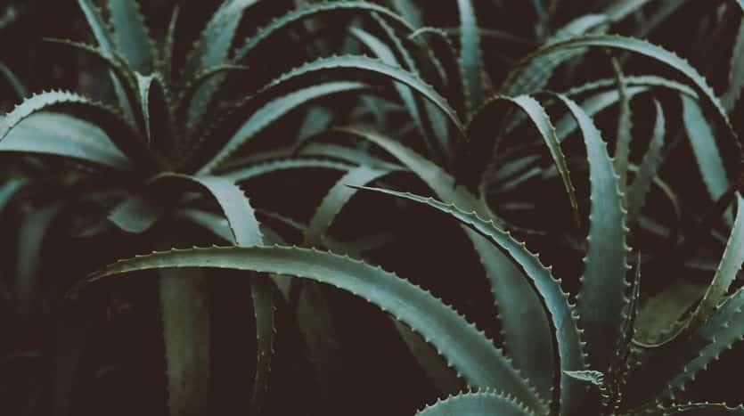 Front Page Succulent